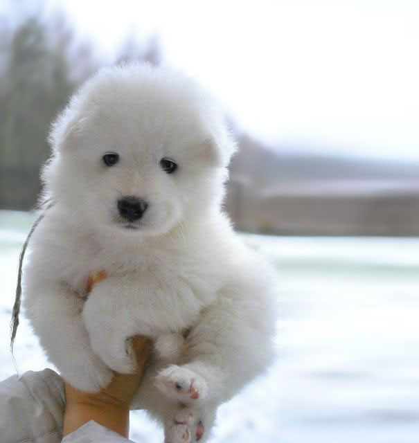 chien-blanc-ours-polaire