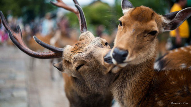 animal-couples-deer__8801-L