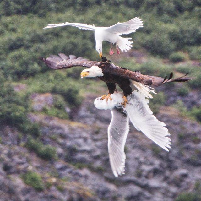 le-spectaculaire-combat-aerien-entre-un-aigle-et-deux-goelands