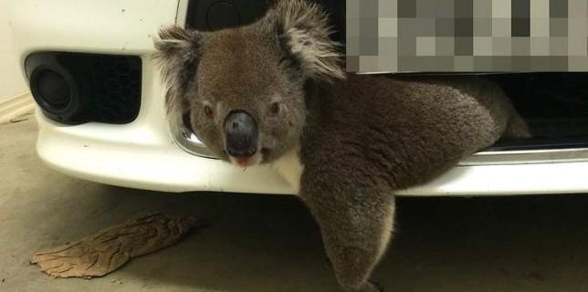 koala-edit-use-this-one-1-736x414