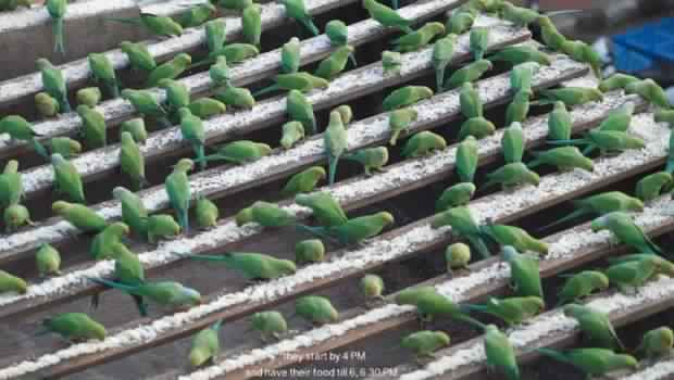il-nourrit-jusquà-4000-perroquets-par-jour-620x350