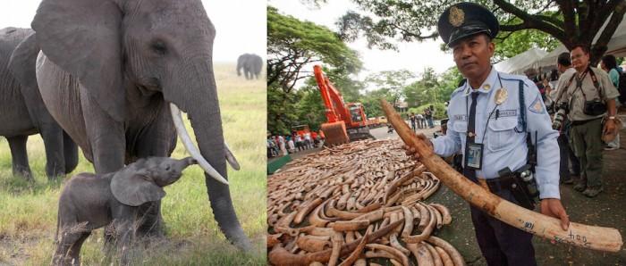 elephant_ivorycrush
