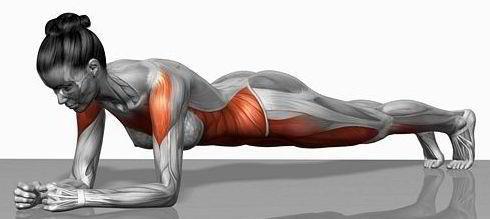 muscle_planche-abdominale
