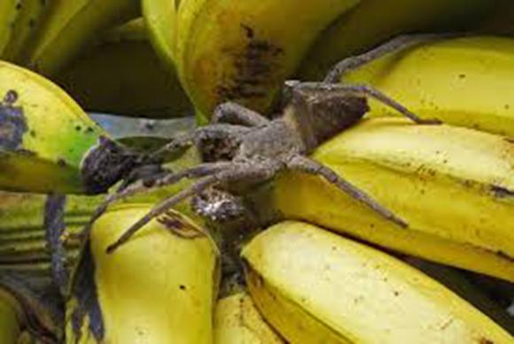 araignee-banane