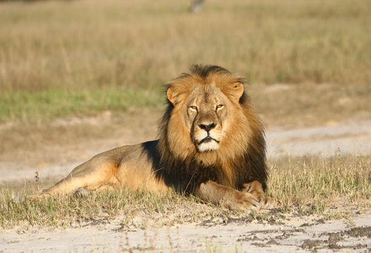 4962142_6_d89f_le-lion-cecil-reconnaissable-a-sa-criniere_382764d8a0bcc791c37f3755f886872a