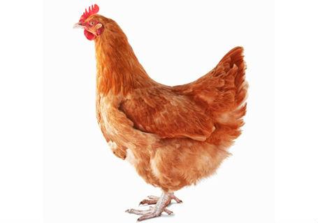 Le chauffard et la poule cocktail - Image d une poule ...