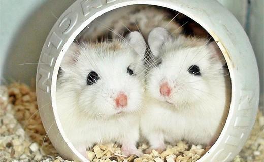 1-white-couple-hamster-animal-photography
