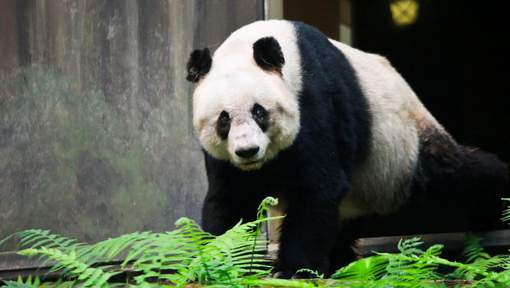 epa05588596 A handout picture made available by the Ocean Park on 17 October 2016 shows the world's oldest panda Jia Jia in Ocean Park in Hong Kong, China, 07 October 2016. Ocean Park's giant panda, Jia Jia, has been put down after her health deteriorated.  EPA/OCEAN PARK / HANDOUT  HANDOUT EDITORIAL USE ONLY/NO SALES/NO ARCHIVES