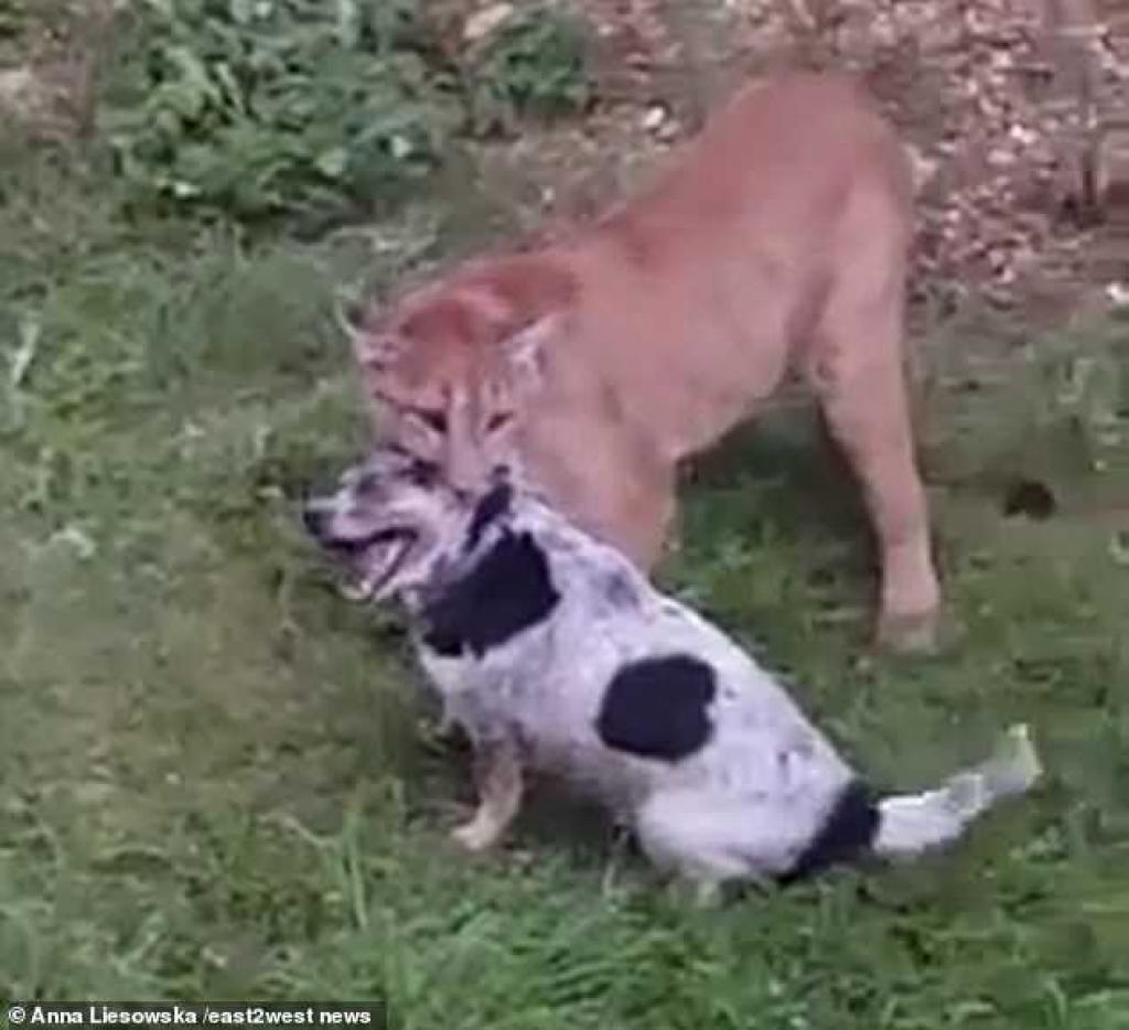 Le puma domestique des voisins riches attaque violemment